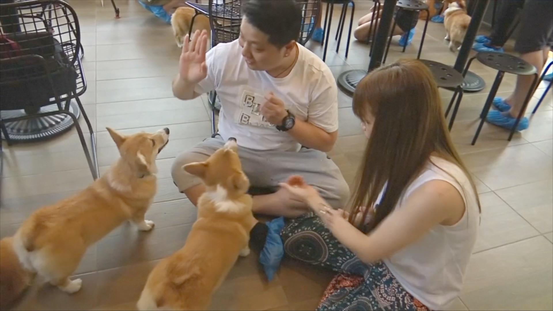 Мило и забавно: в кафе Бангкока гостей веселят вельш-корги