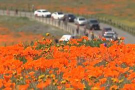 Как калифорнийские рейнджеры спасают суперцветение в долине