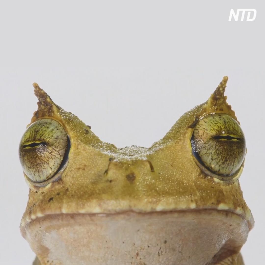 В Эквадоре нашли рогатую лягушку, которую считали вымершей