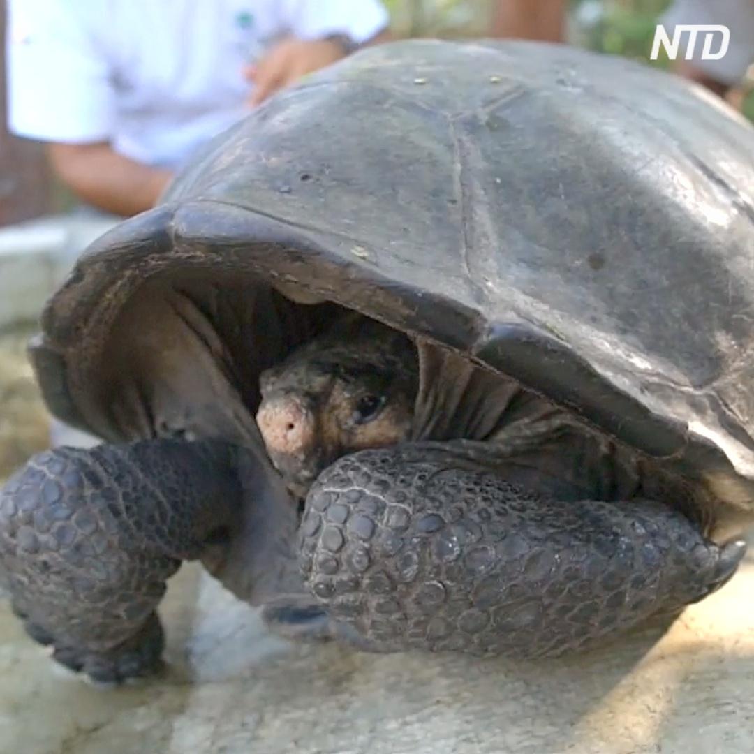Черепаху, которую 100 лет считали вымершей, нашли на Галапагосских островах