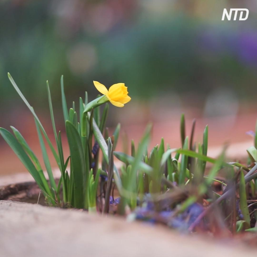 Тысячи первоцветов распустились в ботаническом саду Москвы