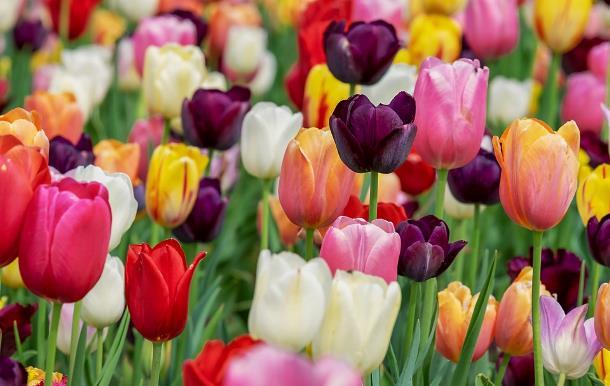 Все о тюльпанах: от появления до современности