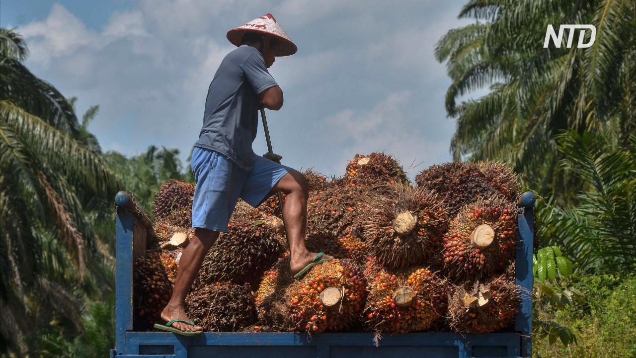 Малайзия угрожает ЕС торговой войной из-за пальмового масла