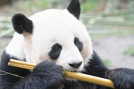 Зоопарк Вашингтона надеется на прибавление у большой панды