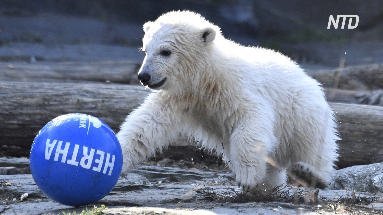 Белого медвежонка в Берлине назвали в честь футбольного клуба