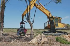 Фермеры Австралии вернулись к выращиванию голубого эвкалипта