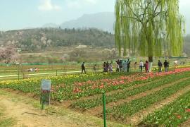 Самый большой в Азии сад тюльпанов радует гостей