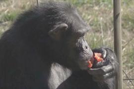 Заповедник в Испании дарит счастливую жизнь спасённым обезьянам