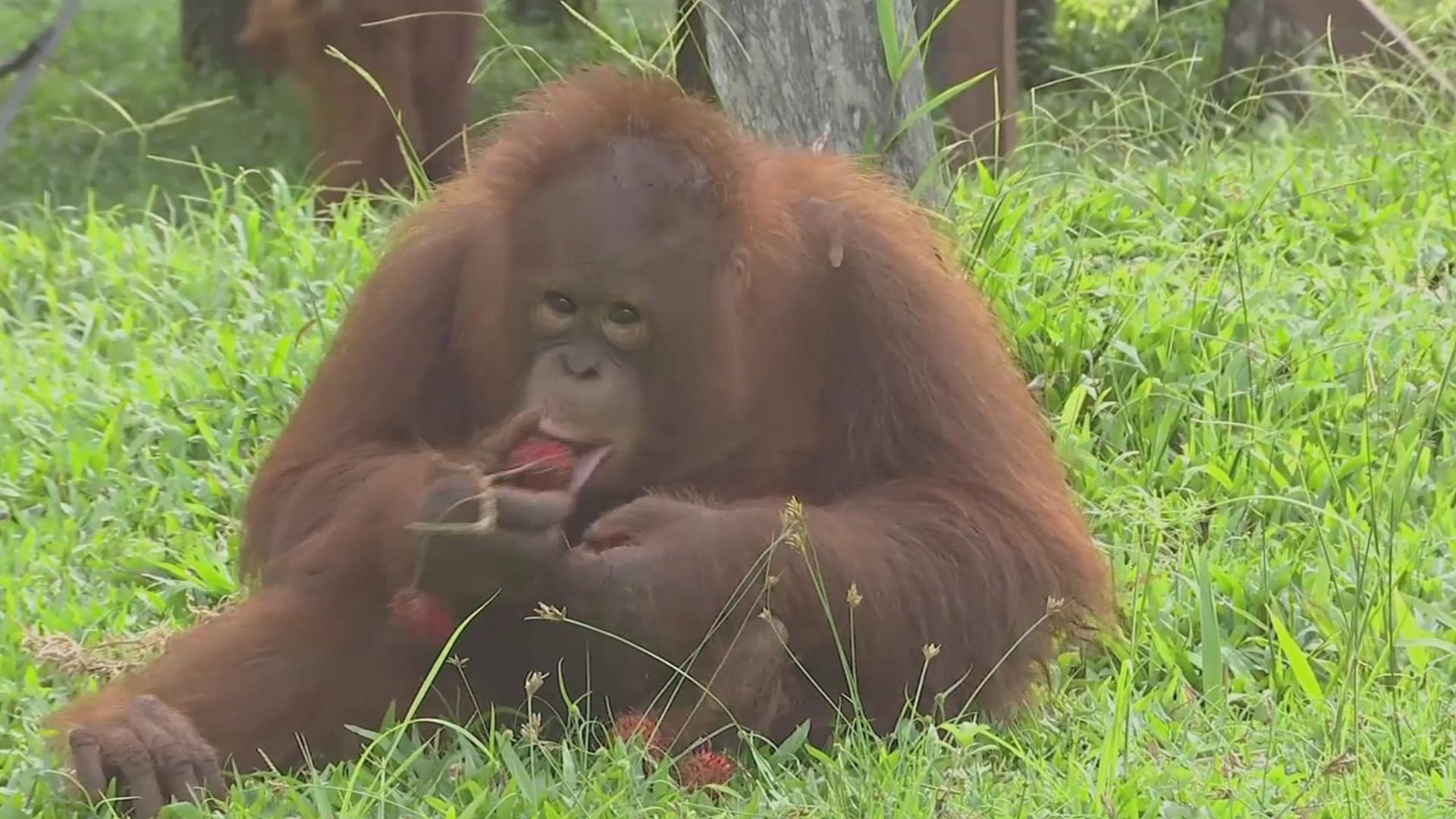 За редкими орангутанами наблюдают с помощью тепловизора