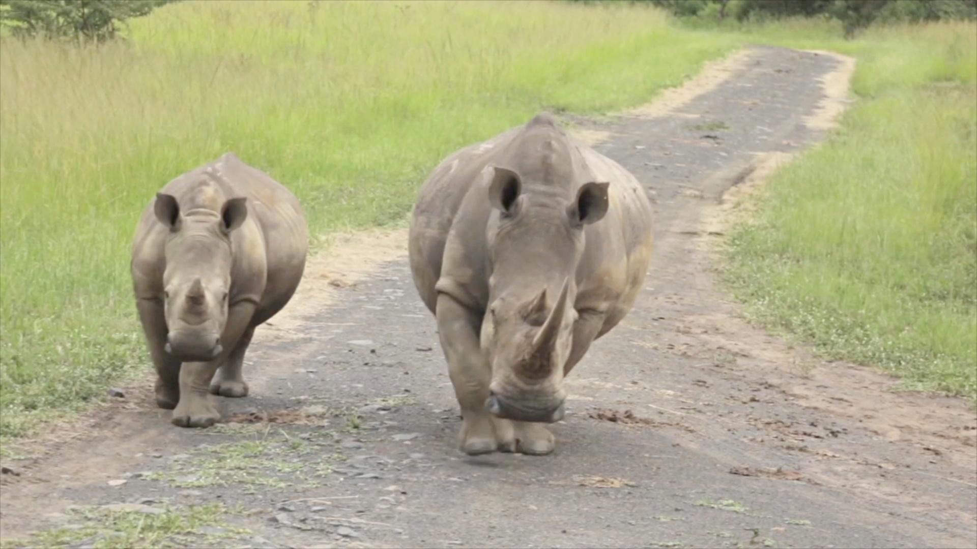 «Умные» камеры защищают носорогов в заповеднике ЮАР