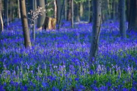 «Синий лес» в Бельгии украсили миллионы колокольчиков
