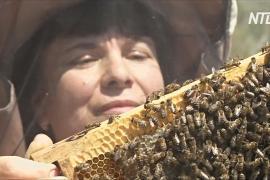 Краснодарский край может лишиться пчеловодства из-за гибели каштанов