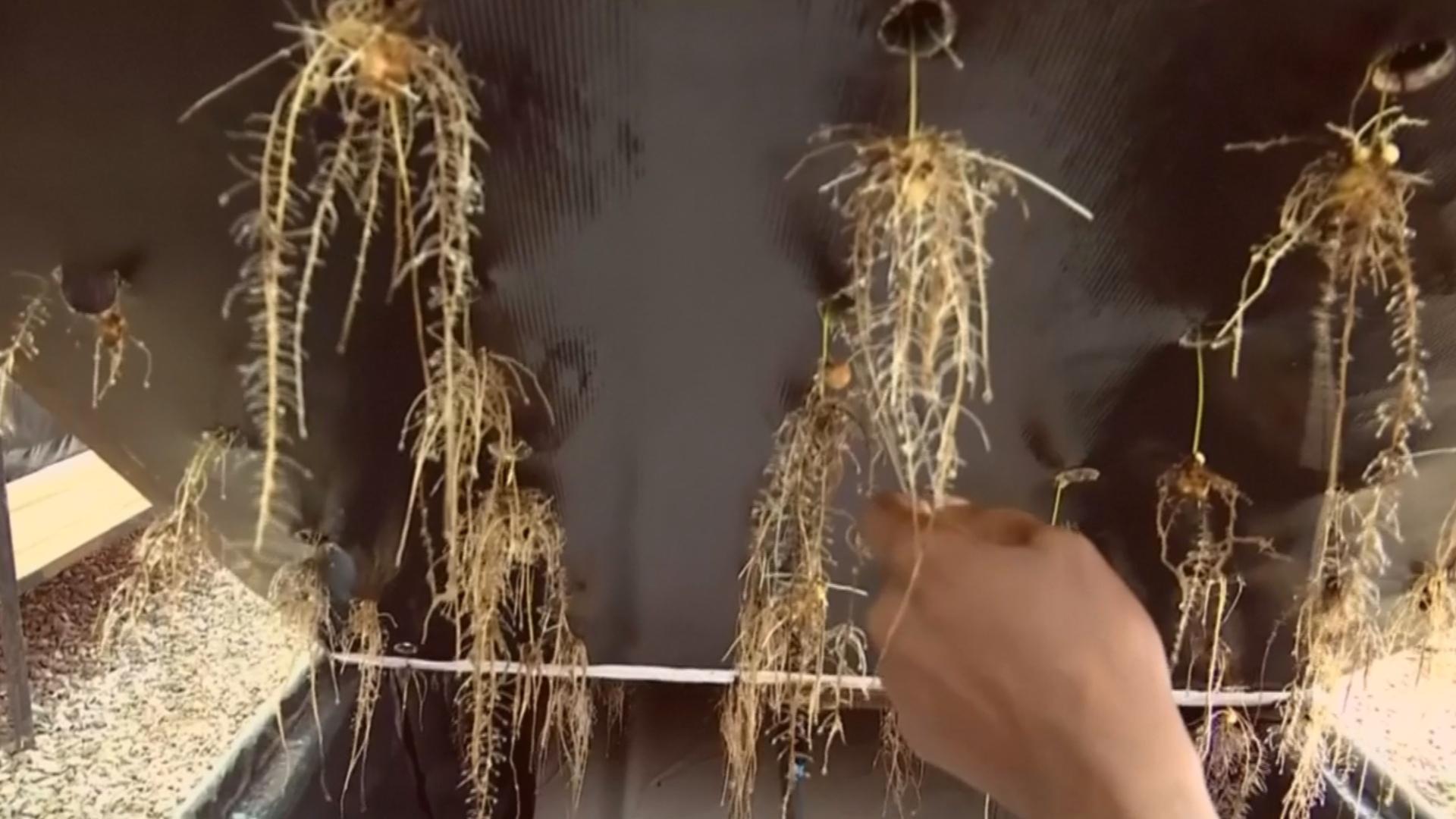 Нигериец выращивает овощи на ферме без почвы