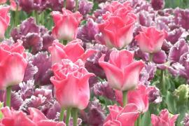 Сотни новых сортов тюльпанов украсили ботанический сад в Крыму