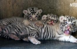 Зоопарк в Мексике показал детёнышей редкого белого тигра