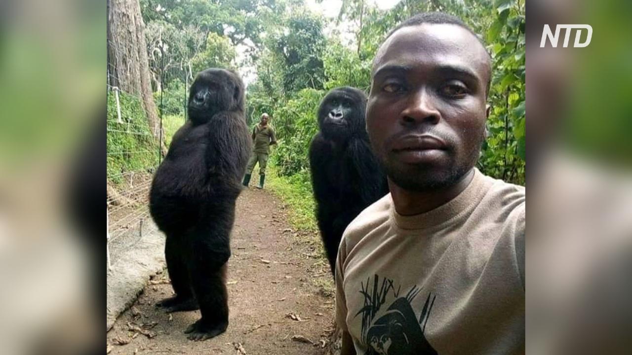 Автор вирусного селфи с гориллами рассказал, почему получилось такое фото