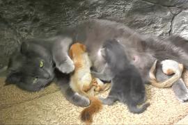 Крымская кошка усыновила четырёх бельчат