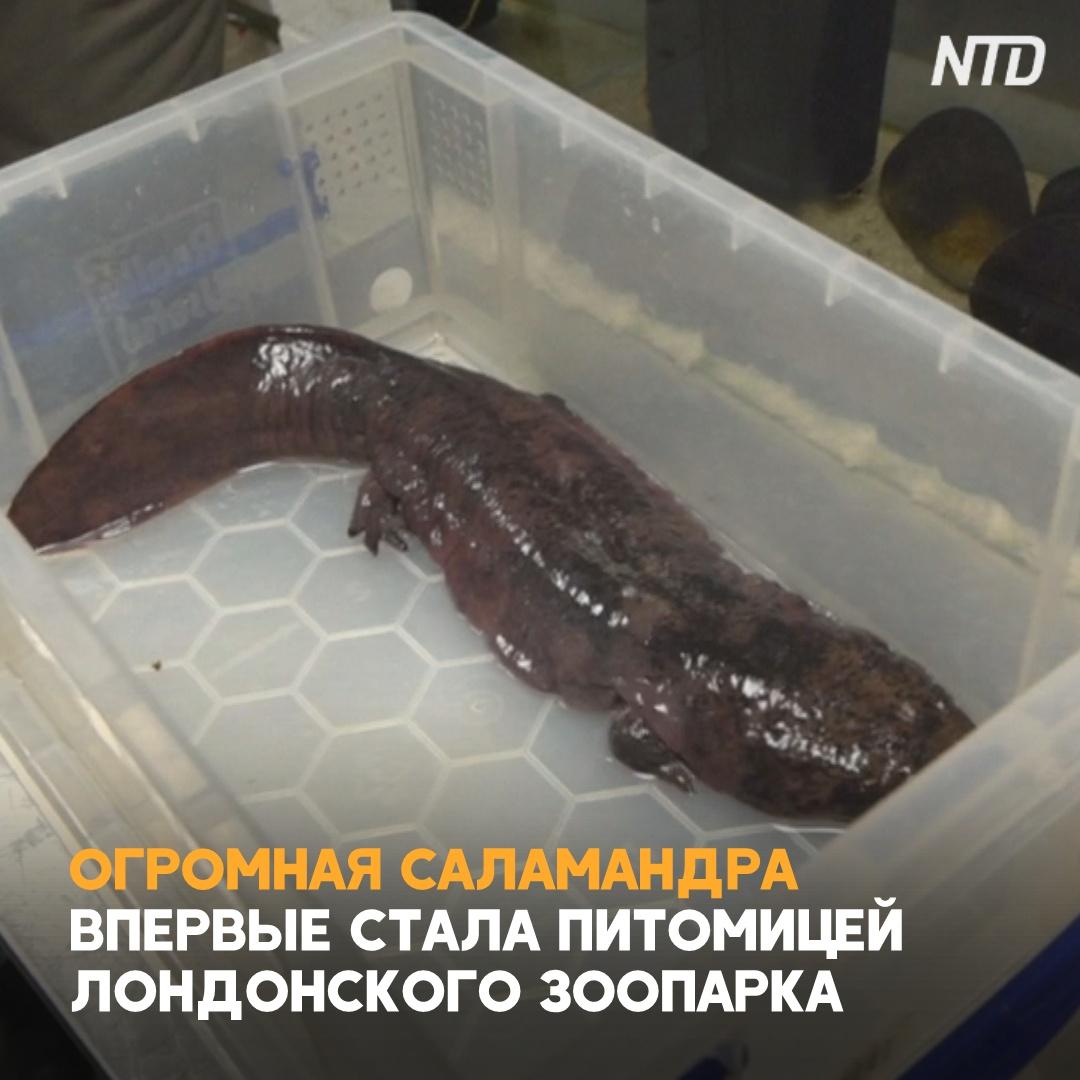 Древняя гигантская саламандра попала в Лондонский зоопарк