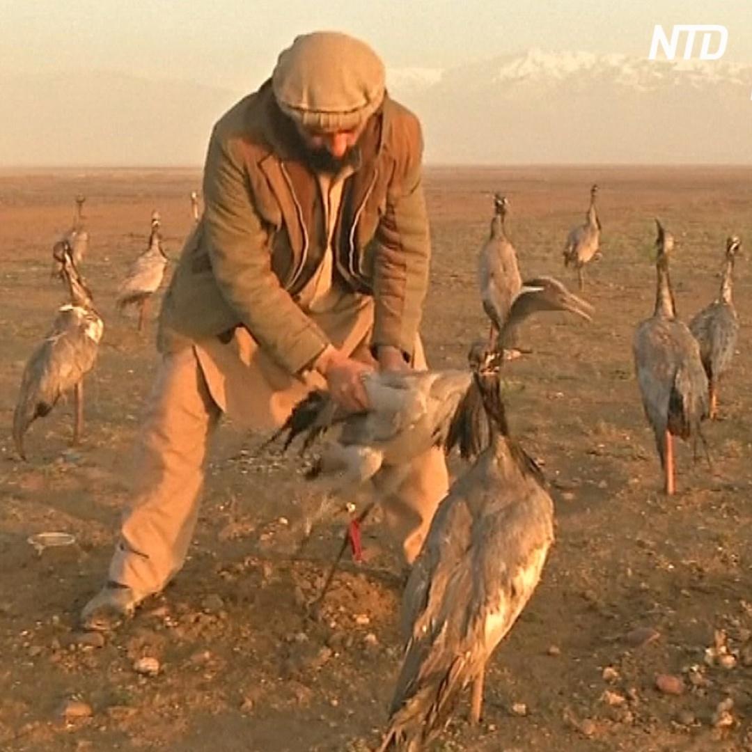 Афганец ловит журавлей, заманивая другими журавлями