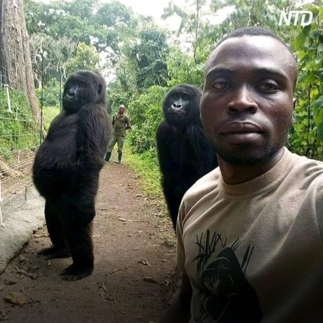 Как получились вирусные селфи с гориллами?