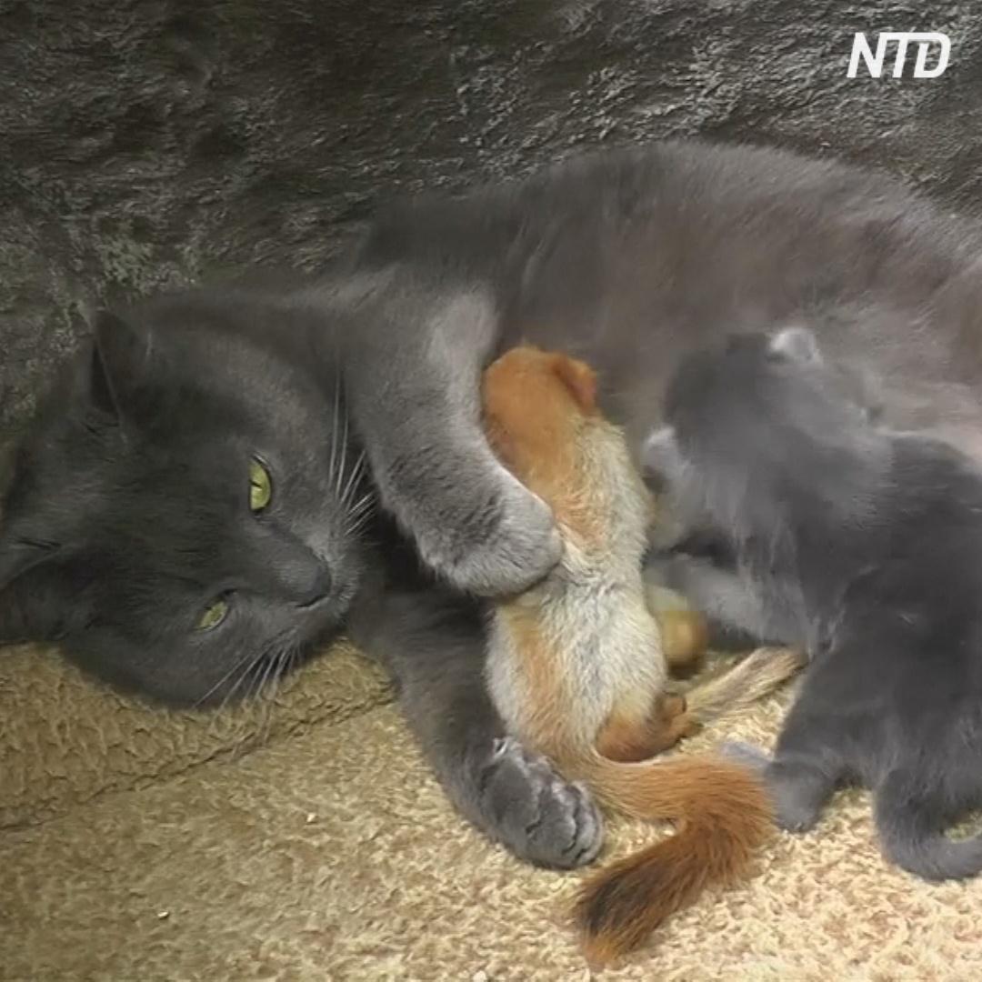 Кошка выкармливает котят и четырёх бельчат