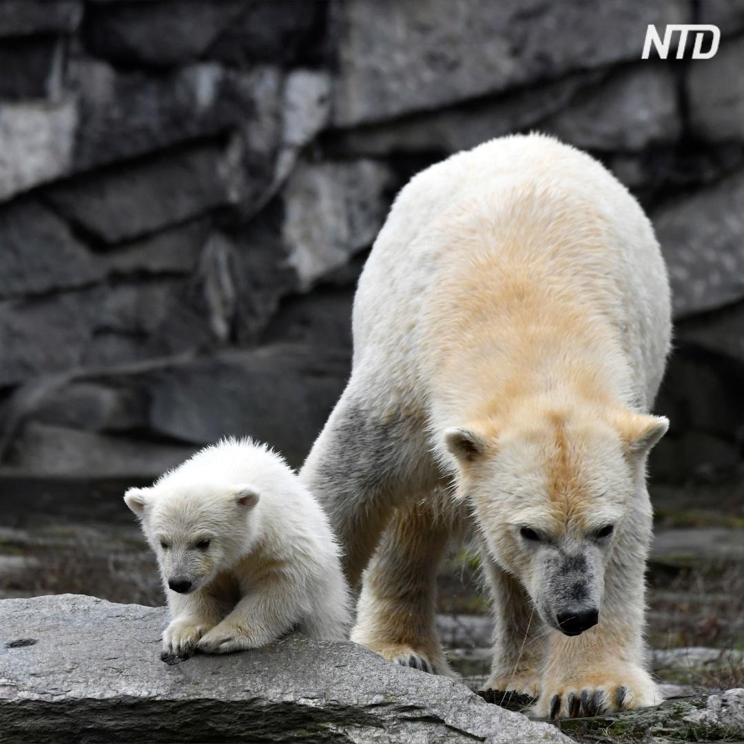 Белый медвежонок впервые вышел на публику в зоопарке Берлина