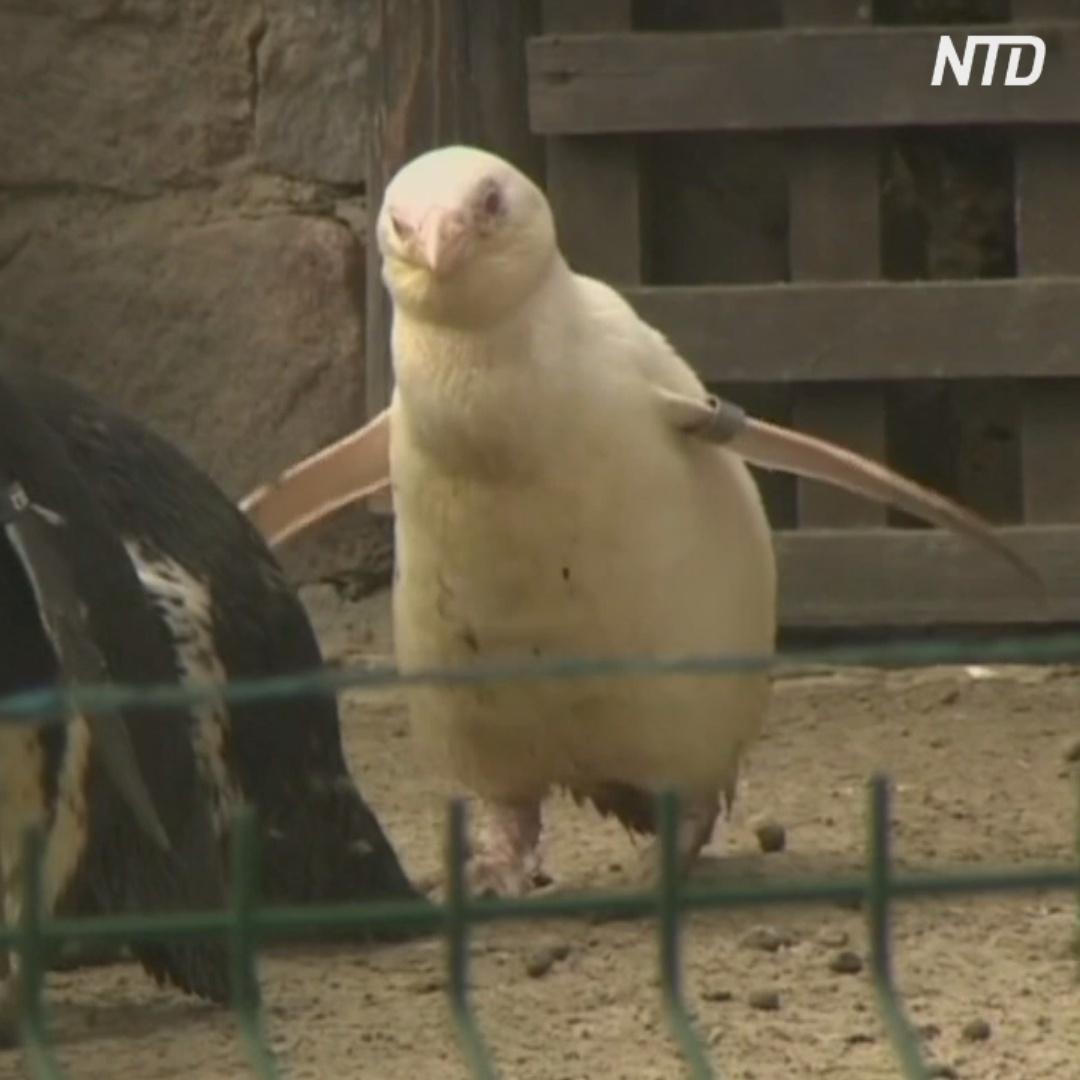 Единственного пингвина-альбиноса, живущего в неволе, показали в Польше