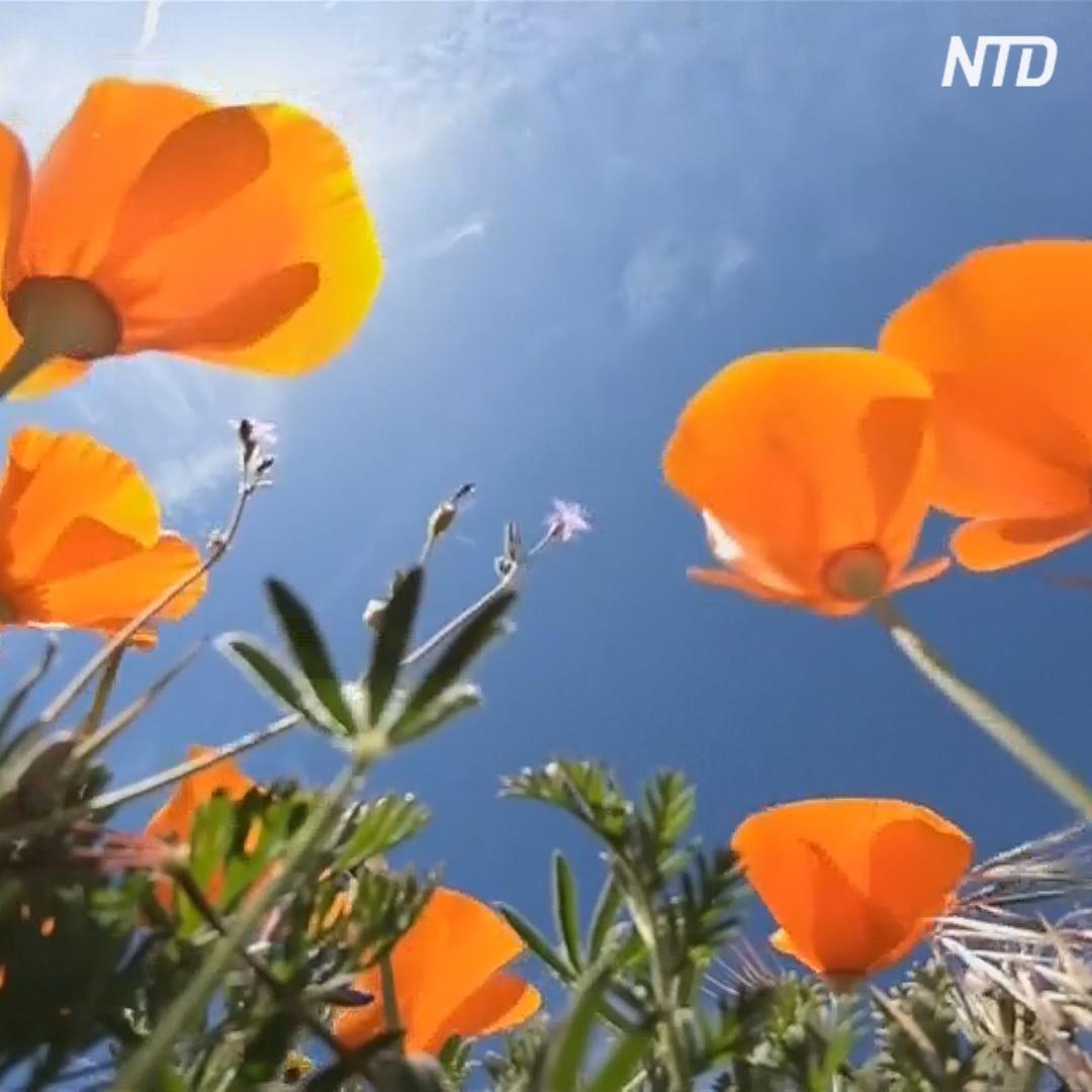Рейнджеры спасают суперцветение в калифорнийской долине