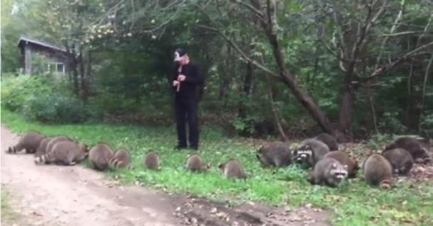 Музыкант флейтой выманил из леса 20 енотов