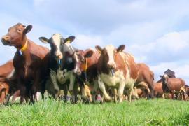 Счастью нет предела: шведских коров выпустили на пастбище
