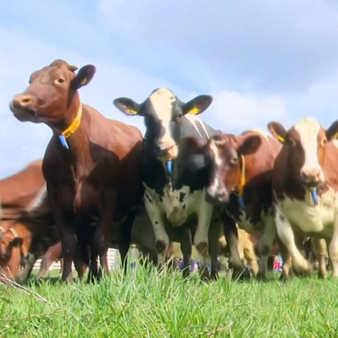 Как отреагировали коровы на траву после зимы в хлеву