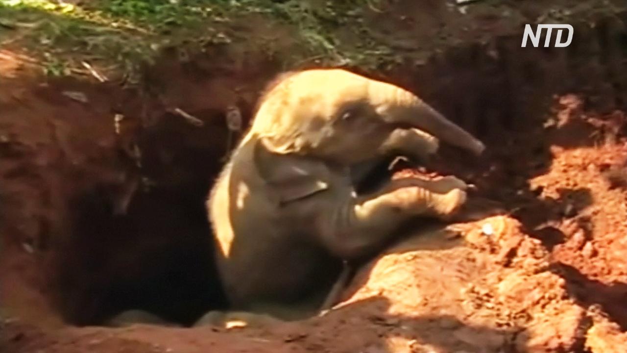 В Шри-Ланке спасли двух слонят, упавших в яму