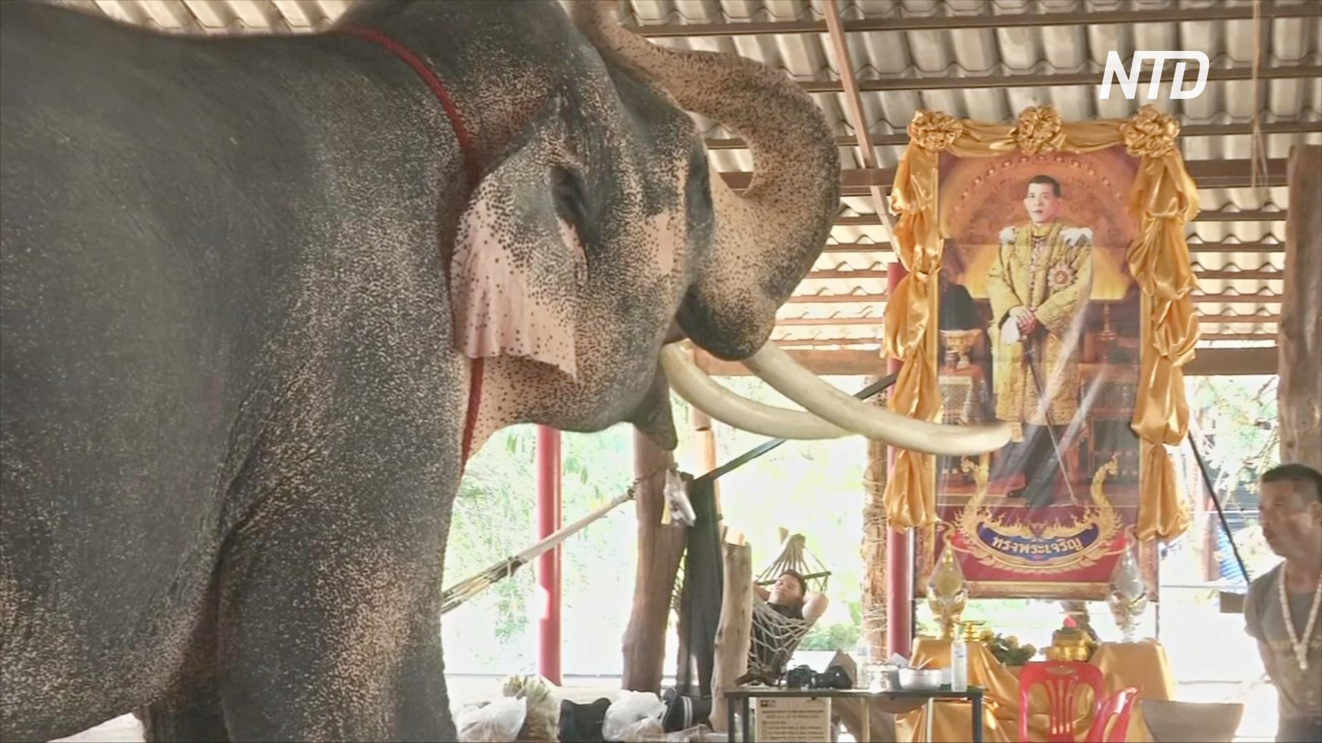 В Таиланде готовятся подарить слона Раме X в честь коронации