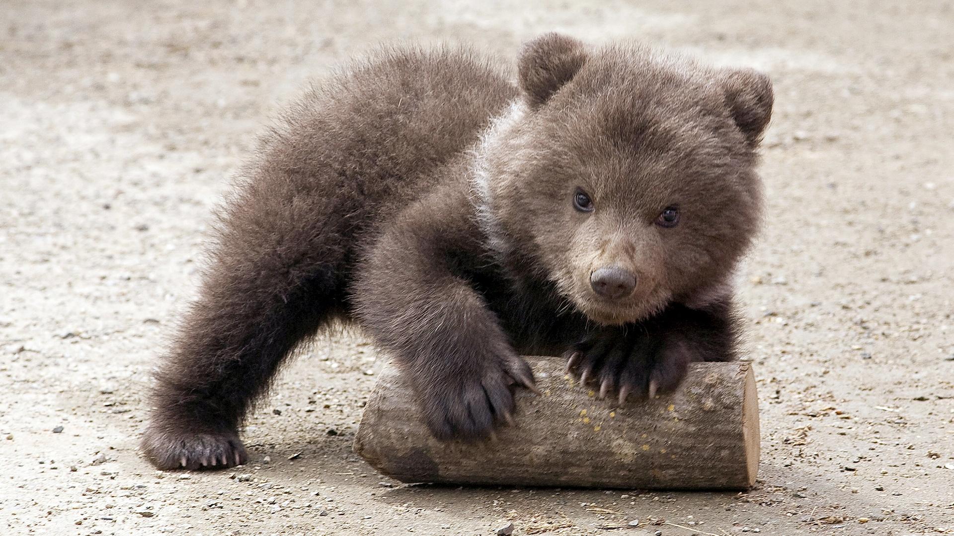 В Греции медвежат Брэдли и Купера готовят к жизни в дикой природе