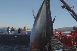 В Испании охотятся на тунца древним методом альмадраба
