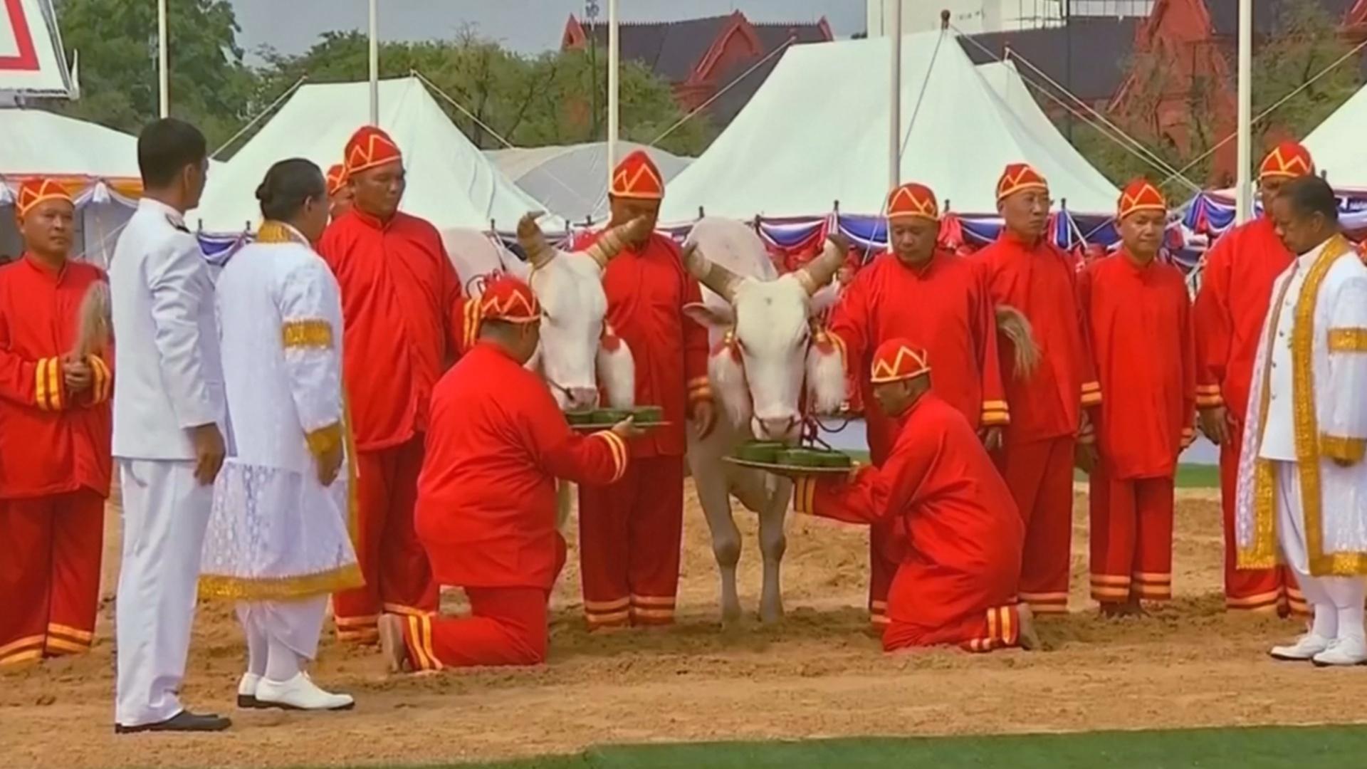 Церемония Королевской вспашки: что предсказали священные волы