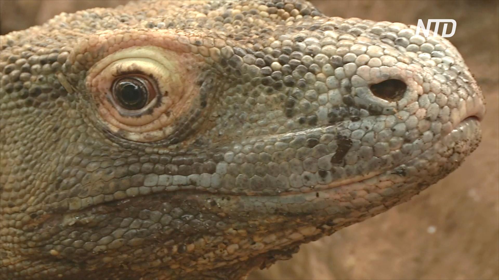 В Лондонском зоопарке живёт комодский дракон по кличке Ганас