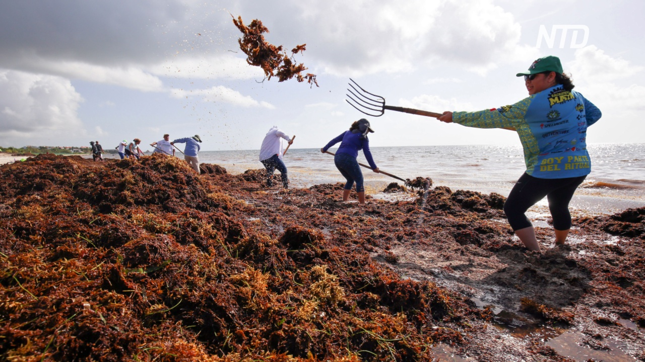 В Мексике – нашествие водорослей саргассум