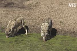 Возвращение волков поможет восстановить экосистему лесов Германии
