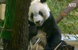 В Австрии представили новоприбывшую большую панду