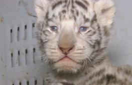 В чилийском зоопарке три белых тигрёнка прошли первый осмотр