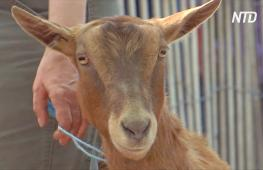 Как козы спасают от сорняков нью-йоркский Риверсайд-парк