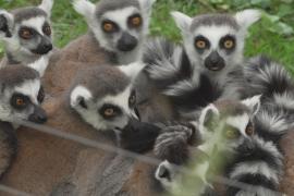 В зоопарке Рима приветствуют маленьких лемуров