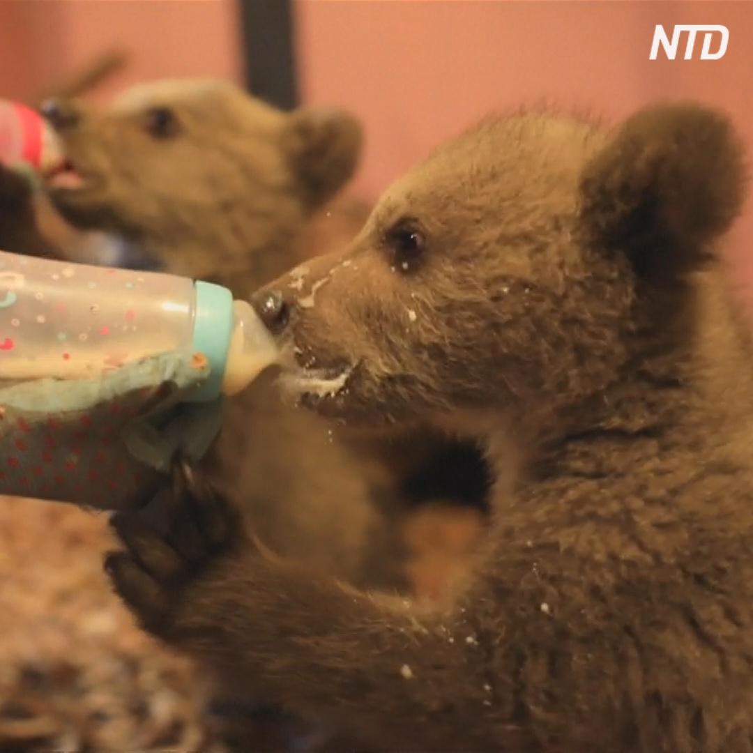 Медвежата Брэдли и Купер готовятся к жизни в дикой природе