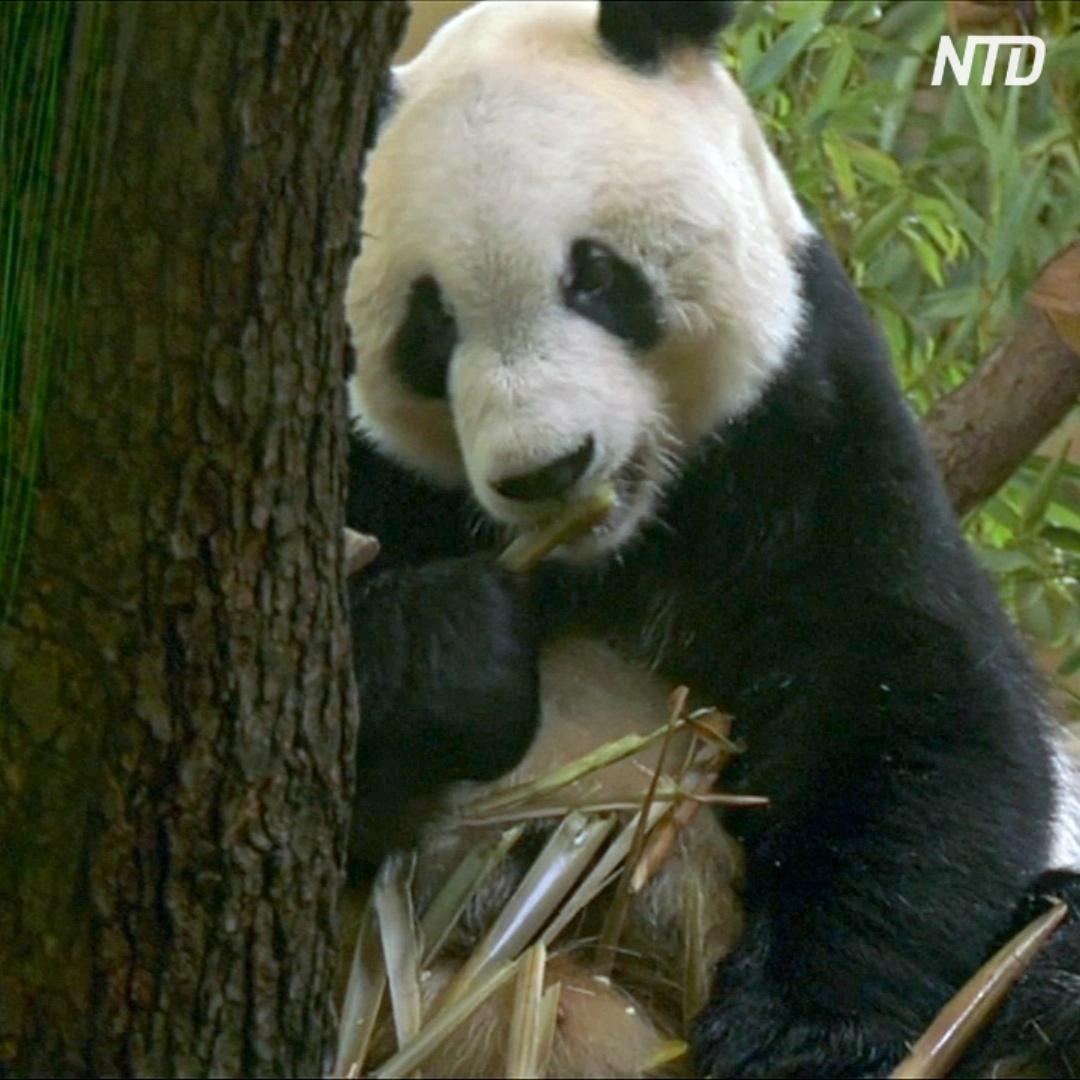 В венский зоопарк привезли новую панду