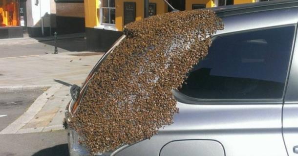 Рой из 20 000 пчёл захватил автомобиль