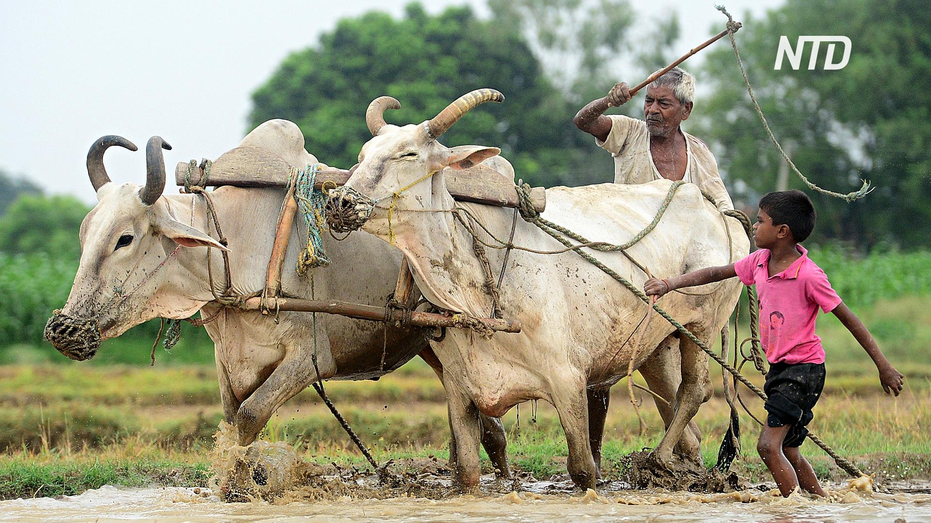 Засуха заставляет фермеров Индии продавать свой скот