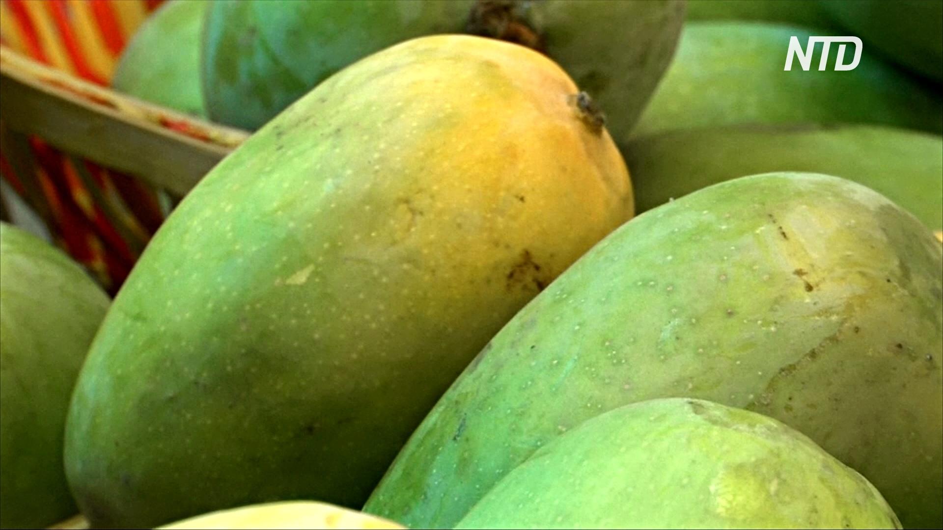 На фестиваль в Индии привезли манго, которые весят до 5 кг
