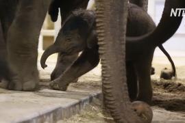 Новорождённый слонёнок делает первые шаги в бельгийском зоопарке