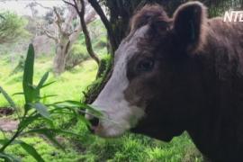 Почему коровы стали спасением для пингвинов на острове Габо